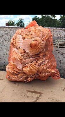 400 kg  Cornish Scallop Shells in a  dumpy bag,