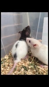 Baby rats for sale - 2 little boys! Oxenford Gold Coast North Preview