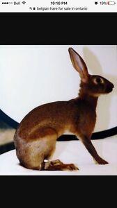 Looking for Belgian hares