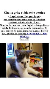 Chatte blanche et grise perdue Papineauville