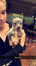Cattle dog pups Cranebrook Penrith Area Preview