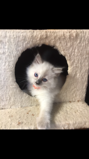 Purebred Ragdoll kitten with papers