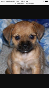 Chihuahua x jack Russell Lockridge Swan Area Preview