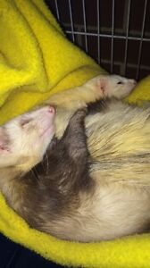EOI for my male and female ferret Secret Harbour Rockingham Area Preview