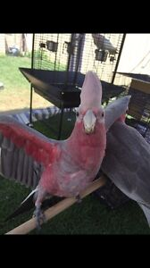 Breeder sell out & tame birds............. Mount Druitt Blacktown Area Preview
