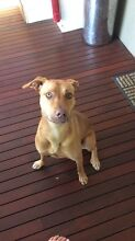 Lucy - red nose kelpy x Shellharbour Shellharbour Area Preview
