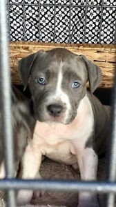 American Staffy Pups / Amstaff Puppies Oakville Hawkesbury Area Preview