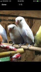 Proofed pastel fisher lovebird breeding pair with cage
