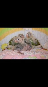 Green cheek conures Modbury Heights Tea Tree Gully Area Preview