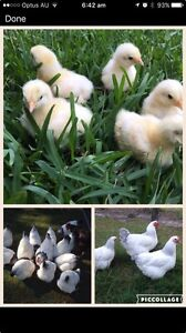 Sussex Chicks Burpengary Caboolture Area Preview