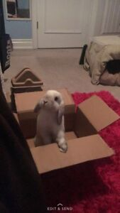 Female Holland Lop with extras