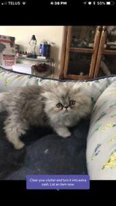 Purebred Persians kittens