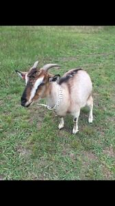 Female miniature goat. Mowing or breeding / pet friendly West Pennant Hills The Hills District Preview