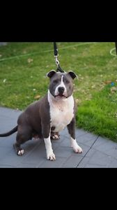 American staffy Cronulla Sutherland Area Preview