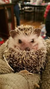Male Africain Pigmy Hedgehog + all accessories
