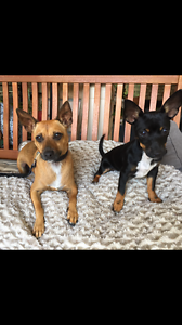 WANTED JACK RUSSEL OR FOXY Albany Albany Area Preview