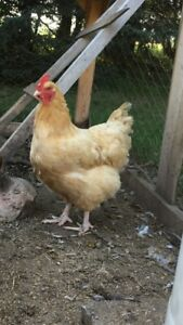 Hens and roosters