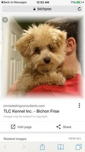Looking for Bichpoo Breeder Altona Hobsons Bay Area Preview