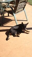 Kelpie pups Manilla Tamworth Surrounds Preview
