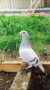 Lost pigeon Narre Warren Casey Area Preview