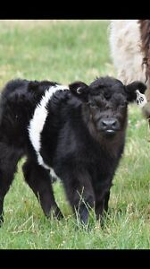 Miniture belted Galloways Garfield Cardinia Area Preview