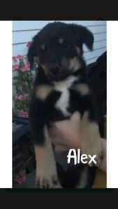 Kelpie pups need forever homes