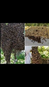 FREE BEE SWARM REMOVAL Kellyville The Hills District Preview