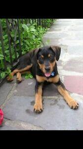 Wanted Puppy Dog Ridgeback Cross Doberman and  Labrador Retriever Forrestfield Kalamunda Area Preview