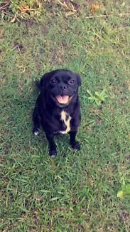 LOST Black Pugalier Female Browns Plains Logan Area Preview