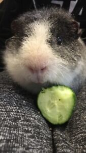 Adorable guinea pig and cage for sale
