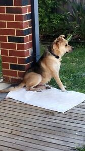 Beautiful Kelpie x staffy for sale!!! Tapping Wanneroo Area Preview