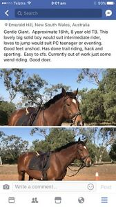 Horse 16+hh thoroughbred gelding Gunnedah Gunnedah Area Preview
