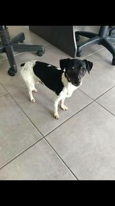 FOUND Dog Toowoomba Toowoomba City Preview