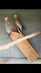 Breeding pair of galahs Penrith Penrith Area Preview