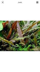 CRYPTOCORYNE live aquarium/fish tank plant for sale Lidcombe Auburn Area Preview