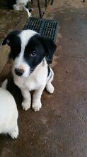 Purebred border collie puppy Parkes Parkes Area Preview