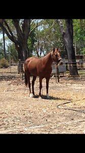 QH Stallion Goondiwindi Goondiwindi Area Preview