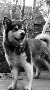 Looking for intact male giant Alaskan malamute