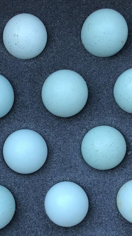 (12) RARE Jumbo Brown CELADON Blue Coturnix Quail Eggs **FREE SHIPPING**