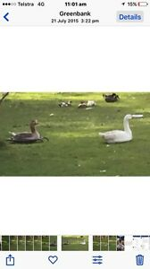 Geese Greenbank Logan Area Preview