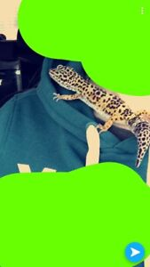 Leopard Gecko (with EVERYTHING you need)