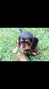 Cavalier Puppy Orchard Hills Penrith Area Preview