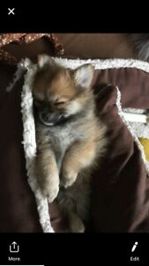 7/8 Pomeranian Puppies Ready for New Homes