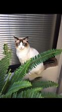 MISSING CAT GEORGE - RAGDOLL - REWARD Marangaroo Wanneroo Area Preview