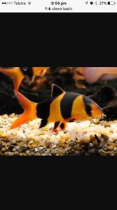 Wanted to buy. Clown Loaches. Canning Vale Canning Area Preview