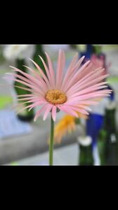 WANTED TO BUY GERBERAS Maryland Newcastle Area Preview
