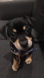 maltese x chihuahua puppy for sale Hope Island Gold Coast North Preview