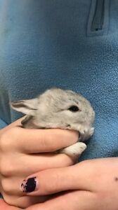 Baby Netherland dwarf lion head mix bunnies