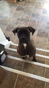 Rehoming female boxer