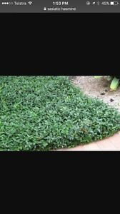 Wanted - asiatic jasmine x 80 Mosman Park Cottesloe Area Preview
